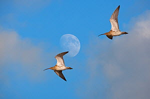 Two Curlews (Numenius arquata) flying past moon, UK, December, Digital composite  -  Ernie Janes