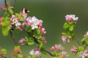 Goldfinch (Carduelis carduelis) on Apple tree branch with blossom, UK, April - Ernie Janes