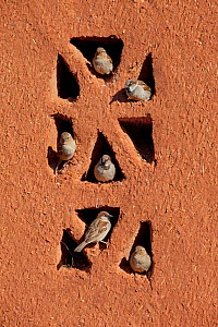 House sparrows (Passer domesticus) perched on building, Morocco, March  -  Ernie Janes