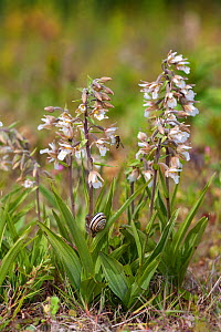 Marsh helleborines (Epipactis palustris) in flower with Banded snail (Cepaea) on stem, Norfolk, UK, June - Ernie Janes
