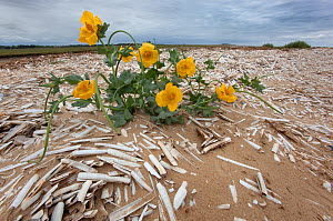 Yellow horned poppy (Glaucium flavum) in flower surrounded by washed up Razor shell (Ensis siliqua) shells at lowtide, The Wash, Norfolk, UK, August  -  Ernie Janes