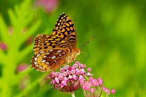 Great spangled fritillary butterfly (Speyeria cybele) feeding on Swamp milkweed (Asclepias sp) flower, North Guilford, Connecticut, USA, July - Lynn M Stone