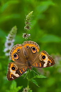 Common buckeye butterfly (Junonia coenia) North Guilford, Connecticut, USA, August  -  Lynn M Stone