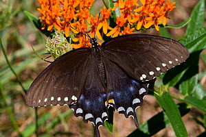 Spicebush swallowtail butterfly (Papilio troilus) feeding on Butterfly weed (Asclepias tuberosa) flower, Old Saybrook, Connecticut, USA, August - Lynn M Stone