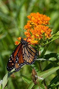 Monarch butterfly (Danaus plexippus) feeding on Butterfly weed (Asclepias tuberosa) flowers, Old Saybrook, Connecticut, USA, August - Lynn M Stone