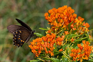 Spicebush swallowtail butterfly (Papilio troilus) feeding on Butterfly weed (Asclepias tuberosa) flowers, Old Saybrook, Connecticut, USA, August - Lynn M Stone
