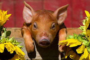 Mixed-breed piglet in wooden box with sunflowers, Maple Park, Illinois, USA - Lynn M Stone