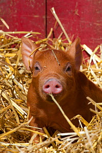 Mixed-breed piglet in straw, Maple Park, Illinois, USA - Lynn M Stone