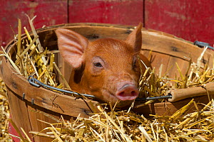 Mixed-breed piglet in basket in straw, Maple Park, Illinois, USA - Lynn M Stone
