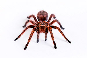 Chilean rose / flame / fire / red-haired tarantula (Grammostola rosea) female, from South America  -  John Abbott