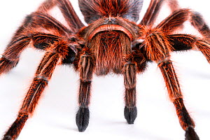 Close up of Chilean rose / flame / fire / red-haired tarantula (Grammostola rosea) female, from South America  -  John Abbott