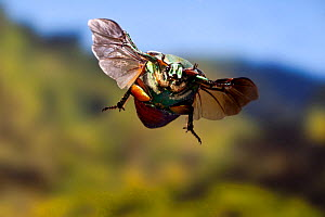 Eastern Green june beetle (Cotinis nitida) in flight, Texas, USA, October - John Abbott