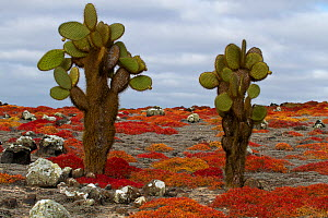 Giant prickly pear cactus (Opuntia echios var. gigantea) amongst carpetweed, Plazas Island, Galapagos - John Abbott