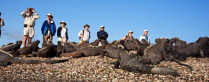 Tourists watching large colony of Marine Iguanas (Amblyrhynchus cristatus) Punta Espinosa on Fernandina Island, Galapagos, August 2010 - John Abbott