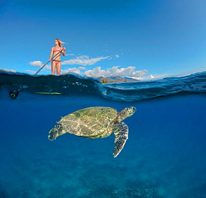 Green Sea Turtle (Chelonia mydas) below surf instructor Tara Angioletti on a stand-up paddle board off Canoe Bearch, Maui, Hawaii. Model released.  -  David Fleetham