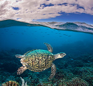Hawksbill Turtle (Eretmochelys imbricata) and a shoal of fish near sea surface. Tubbataha Reef, Philippines.  -  David Fleetham