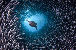 Galapagos Sea Lion (Zalophus californianus wollebacki) framed by a school of Black Striped Salema (Xenocys jessiae). Santa Cruz Island, Galapagos Islands, Equador.  -  David Fleetham