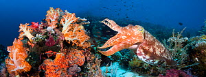 Reef scene with a Broadclub Cuttlefish (Sepia latimanus) Komodo, Indonesia. Two images were digitally stitched together to create this panorama.  -  David Fleetham
