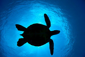 Silhouette of a Green Sea Turtle (Chelonia mydas) passes overhead. West Maui, Hawaii. - David Fleetham