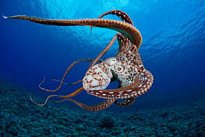 Day / Common Reef Octopus (Octopus cyanea) swimming. Hawaii. - David Fleetham