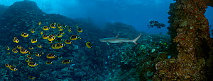 Schooling Raccoon Butterflyfish (Chaetodon lunula) and a Whitetip Reef Shark (Triaenodon obesus). Lanai, Hawaii. Several images were digitally combined to create this panorama.  -  David Fleetham
