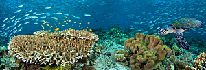 Table coral, schooling fusiliers and a Hawksbill Turtle (Eretmochelys imbricata) in Indonesian reef scene. Komodo, Indonesia. Three images were digitally combined to create this panorama.  -  David Fleetham