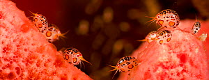 Gammarid Amphipods (Cyproidea sp.) on pink coral. These arthropods are not much bigger than the head of a pin. Komodo, Indonesia. Two images were digitally composited together to create this panorama.  -  David Fleetham