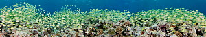 Large school of Convict Surgeonfish / Tang (Acanthurus triostegus) on reef. Five images were digitally stitched to make this panorama. Yap, Micronesia.  -  David Fleetham