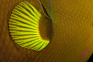 Close-up of the pectoral fin of a Black Durgon / Pinktail Triggerfish (Melichthys vidua).  Hawaii. - David Fleetham