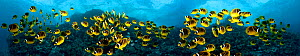 Five images of schooling Raccoon Butterflyfish (Chaetodon lunula) digitally combined for this panorama photograph. Lanai, Hawaii.  -  David Fleetham