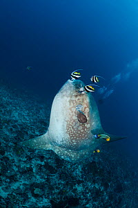 Ocean Sunfish (Mola mola) being cleaned by an angelfish, butterflyfish and longfin bannerfish. Crystal Bay, Nusa Penida, Bali Island, Indonesia, Pacific Ocean. - David Fleetham
