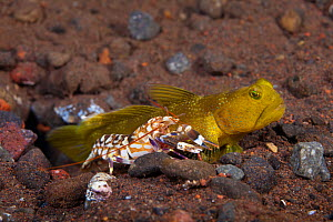 Yellow Shrimp / Banded Prawn Goby (Cryptocentrus cinctus) lives with this blind snapping shrimp (Alpheus sp.) who is excavating their den. As pictured here, the shrimp always keeps an antennae touchin...  -  David Fleetham