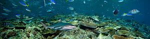 Blacktip Reef Sharks (Carcharhinus melanopterus) and various reef fish crowd the top of a Fijian reef in Beqa Lagoon. (Five images were digitally combined to create this panorama).  -  David Fleetham