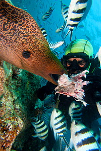Diver feeding Giant Moray Eel (Gymnothorax javanicus). Bequ Lagoon, Fiji.  -  David Fleetham