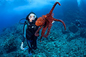 Common / Day Octopus (Octopus cyanea) and diver. Hawaii. Model released.  -  David Fleetham