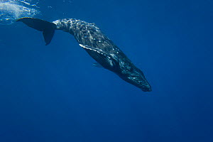 Humpback Whale (Megaptera novaeangliae) beginning a deep dive. Hawaii. - David Fleetham
