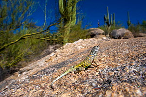 Southwestern greater earless Lizard (Cophosaurus texanus scitulus) controlled conditions, Catalina Mountains foothills, Arizona, USA  -  Daniel Heuclin
