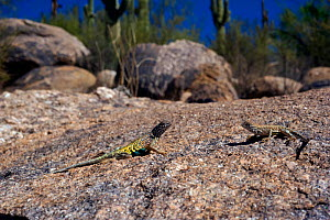 Southwestern greater earless Lizard (Cophosaurus texanus scitulus) male and female together, controlled conditions, Catalina Mountains foothills, Arizona, USA  -  Daniel Heuclin