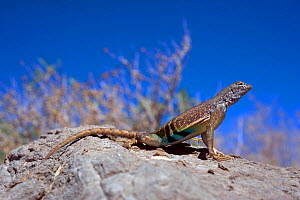 Southwestern greater earless Lizard (Cophosaurus texanus scitulus) female, controlled conditions, Catalina Mountains foothills, Arizona, USA  -  Daniel Heuclin