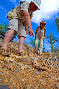 People observing Gila monster (Heloderma suspectum suspectum) controlled conditions, Catalina mountains foothills, Arizona USA  -  Daniel Heuclin