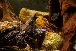 Alligator snapping turtle (Macroclemys temmincki) fishing by luring a fish with the vermiform, worm-like,  tongue, USA, captive  -  Daniel Heuclin