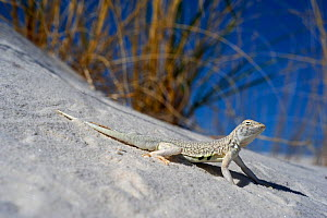 Bleached earless lizard (Holbrookia maculata ruthveni) camouflaged on sand, White Sands National Park, New Mexico, USA, May - Daniel Heuclin