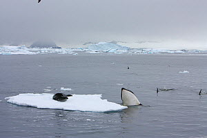 Southern Type B Killer whales (Orcinus orca) hunting Weddell seal (Leptonychotes weddelli) spyhopping to assess where seal is on ice floe, Antarctica.  Taken on location for BBC Frozen Planet series,...  -  Kathryn Jeffs