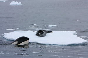 Southern Type B Killer whales (Orcinus orca) hunting Weddell seal (Leptonychotes weddelli) one spyhopping to assess where seal is on ice floe, Antarctica.  Taken on location for BBC Frozen Planet seri...  -  Kathryn Jeffs