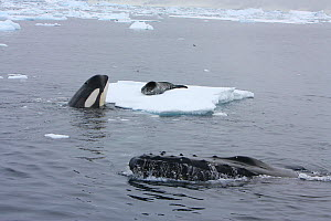 Southern Type B Killer whale (Orcinus orca) hunting Weddell seal (Leptonychotes weddelli) spyhopping to assess where seal is on ice, whilst Humpback whale (Megaptera novaeangliae) surfaces nearby, Ant... - Kathryn Jeffs