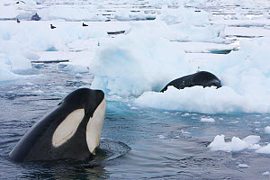 Southern Type B Killer whales (Orcinus orca) hunting Weddell seal (Leptonychotes weddelli) spyhopping to assess where seal is on ice floe and to intimidate, Antarctica.  Taken on location for BBC Froz...  -  Kathryn Jeffs