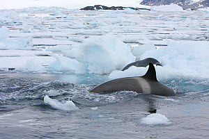 Southern Type B Killer whales (Orcinus orca) hunting Weddell seal (Leptonychotes weddelli) using wave washing technique to get seal off ice floe, Antarctica.  Taken on location for BBC Frozen Planet s...  -  Kathryn Jeffs