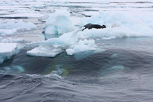 Southern Type B Killer whales (Orcinus orca) hunting Weddell seal (Leptonychotes weddelli) using coordinated wave washing technique, Antarctica.  Taken on location for BBC Frozen Planet series, Winter...  -  Kathryn Jeffs