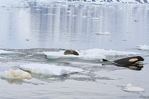 * Southern Type B Killer whales (Orcinus orca) hunting Weddell seal (Leptonychotes weddelli) using coordinated wave washing technique, Antarctica.  Taken on location for BBC Frozen Planet series, Janu...  -  Kathryn Jeffs
