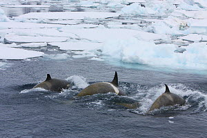 Southern Type B Killer whales (Orcinus orca) hunting Weddell seal (Leptonychotes weddelli) using coordinated wave washing technique, Antarctica.  Taken on location for BBC Frozen Planet series, Januar...  -  Kathryn Jeffs